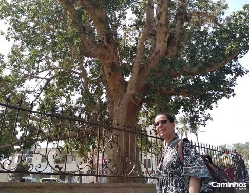 Sicômoro de Zaqueu, Jericó, Cisjordânia